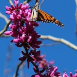 Monarch enjoying blossoms