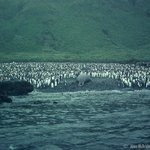 Southern Elephant Seal taking his spot amongst King Peguins Macquarie Island with Heritage Exped