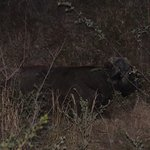 Buffalo within touching distance of our lodge