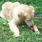 Our pup at Carter Mountain Orchard