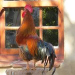 Helmick the cafe rooster