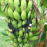 bananen in je eigen tuin
