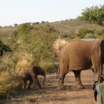 Elephants crossing in front of 4WD