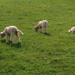 かわいい子羊たち