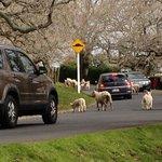 羊が渋滞をひきおこしています