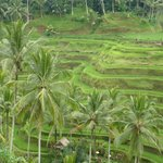 Some of the traditional terraced rice paddies that Coman took us to in Bali