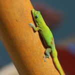 One of our Geko friends!