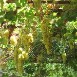 grapes in dining