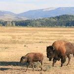 Bison, bison everywhere!