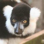 "black and white ruffed lemur ""Blackhead"""