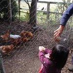 Feeding chickens at Lillydale farm