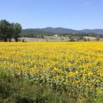 Sunflowers around Relais Antonella