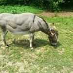 Jezebel the Donkey