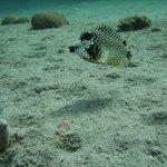 little boxfish, under the pier