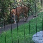 Who doesn't love a tiger?