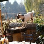 Goat on bird feeder