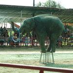 象の定番曲芸