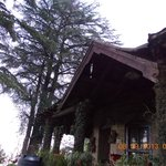 The tall Deodar Trees above the Cottage