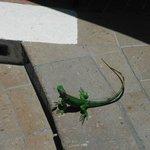 iguana by pool