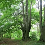 Old trees near Cheltenham.