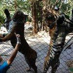 Dancing Tigers? So cute!