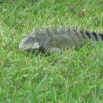 Iguana in the garden