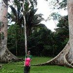 Between twin Ceiba Trees at Caracol -