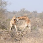 Giraffe's fighting
