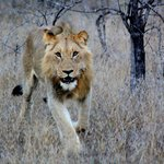 Lion - Game Drive