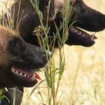 Wild Dogs at Khwai Campsite
