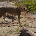 leonessa in polleggio
