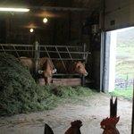 les vaches qu'on aperçoit de la salle du petit déjeuner