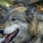 One of the wolves at the Lakota Wolf Preserve.