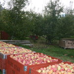 Apple Harvest by the Cashmere Cider Mill