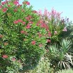 Superbes lauriers roses au bord de la terrasse