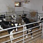 calves at the farm