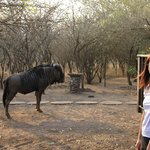 Me with the blue wildebeest