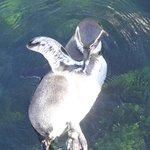 Pinguine im Freibecken