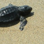 Baby turtle on the beach :)