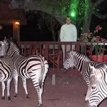 zebra came to visit right after dinner one night