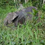 Pygmy Elephant on the side of Kinabatangan River