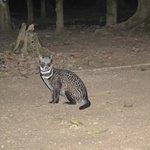 Civet Cat in the camp