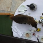 Pizote (local raccoon).  Do not feed them.  Just enjoy watching the wildlife.