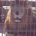 Thor the lion at Turpentine Creej