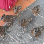 Very friendly Ducks.
