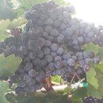 beautiful tempranillo grapes at casa abril