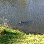 gator at the resort everyday