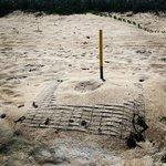 Sea Turtle egg Mound