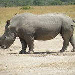Rhino - White