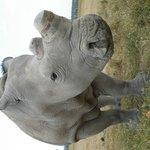 Rhino - Northern White